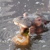 This hippo grew tired of being watched and suggested we move along.